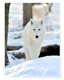 Póster  Beautiful white wolf in winter