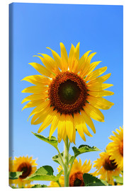 Lienzo  Radiant sunflower