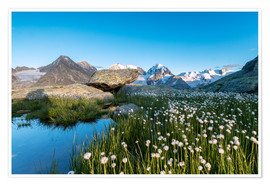Póster Blooming of cotton grass at feet of Piz Bernina, Switzerland
