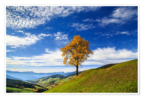 Póster Isolated tree in autumn, Funes Valley, South Tyrol, Italy
