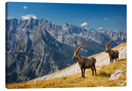 Lienzo  Two Alpine Ibex in front of Mount Watzmann - Dieter Meyrl