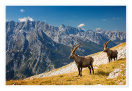 Póster Two Alpine Ibex in front of Mount Watzmann