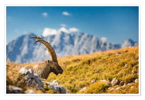 Póster Alpine Ibex in front of Mount Watzmann