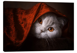 Lienzo  Little Red Riding Hood? British short-haired cat under red blanket - Janina Bürger