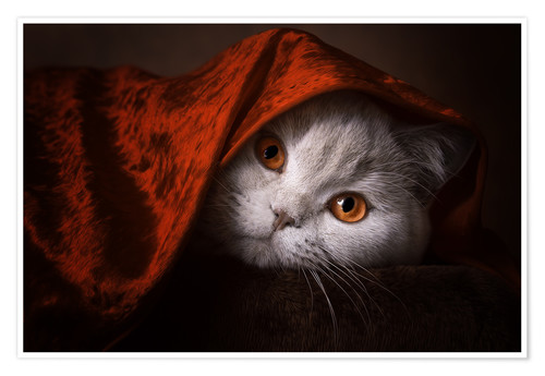 Póster Little Red Riding Hood? British short-haired cat under red blanket