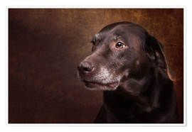 Póster Old Chocolate Labrador Portrait