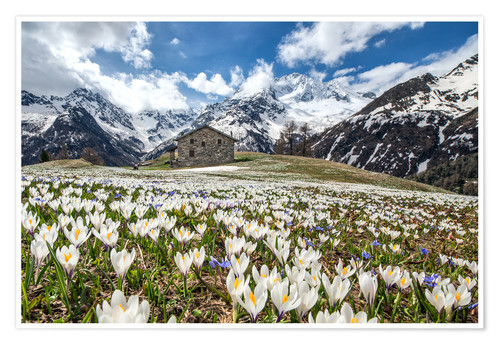 Póster Crocus flowers, Malenco Valley, Italy