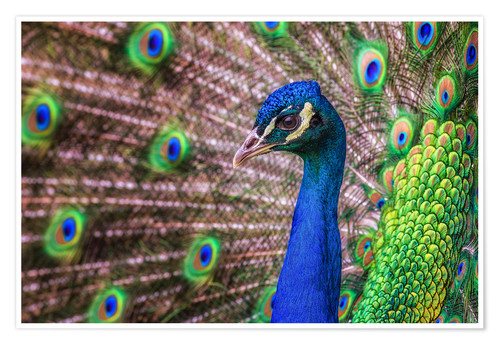 Póster Proud Peacock
