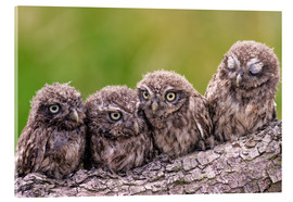 Cuadro de metacrilato  4 little owls - Friedhelm Peters