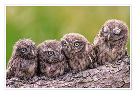 Póster  4 little owls - Friedhelm Peters
