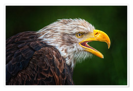 Póster Portrait of bald eagle