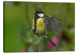 Lienzo  Great Tit in landing approach - Friedhelm Peters