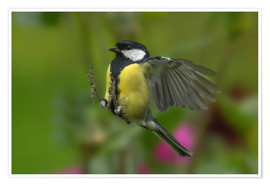 Póster Great Tit in landing approach