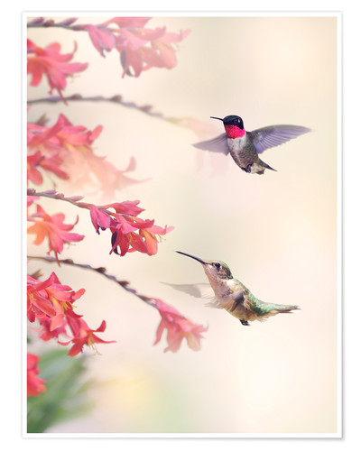 Póster Hummingbirds and flowers