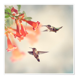 Póster  Hovering hummingbirds