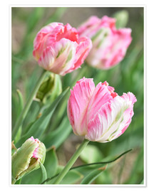 Póster Pink tulips