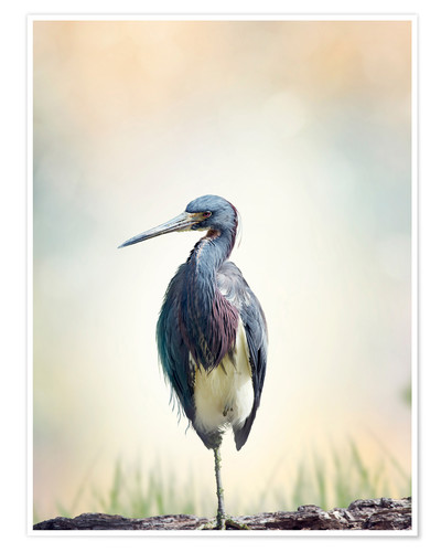 Póster Tricolored Heron