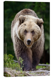Lienzo  Brown bear in focus