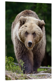 Forex  Brown bear in focus