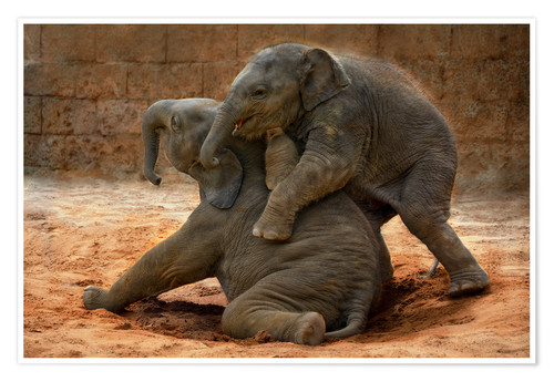 Póster Playing Asian Elephants