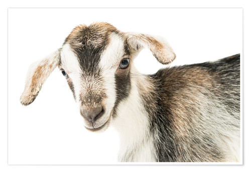 Póster baby goat
