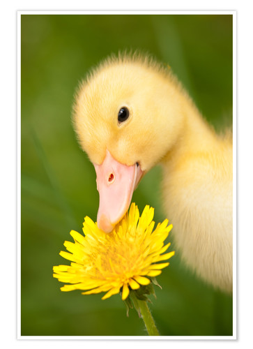 Póster Duckling with dandelion