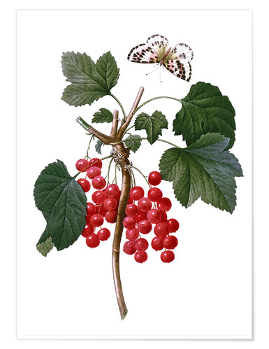Póster red currant