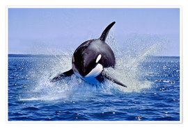 Póster  Killer Whale, leaping, Canada - Gérard Lacz
