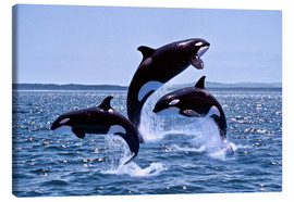 Lienzo  Killer Whales, adults and young leaing, Canada - Gérard Lacz