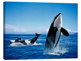 Lienzo  Killer Whales, breatching - Gérard Lacz