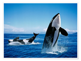 Póster Killer Whales, breatching