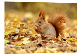 Cuadro de metacrilato  Red Squirrel in an urban park in autumn