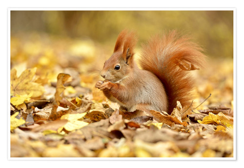 Póster Red Squirrel in an urban park in autumn