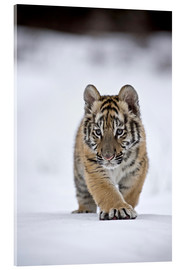 Cuadro de metacrilato  Siberian Tiger cub, walking on snow - FLPA