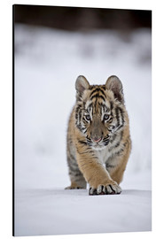 Aluminio-Dibond  Siberian Tiger cub, walking on snow - FLPA
