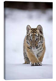 Lienzo  Siberian Tiger cub, walking on snow - FLPA