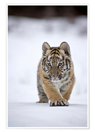 Póster  Siberian Tiger cub, walking on snow - FLPA