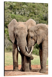 Cuadro de aluminio  African bush elephants bulls twisting their trunks