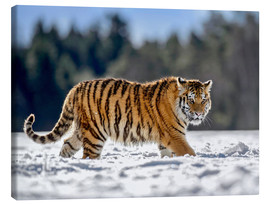 Lienzo  Siberian tiger, juvenile running in snow