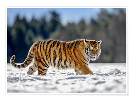 Póster Siberian tiger, juvenile running in snow