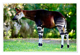 Póster Okapi, female