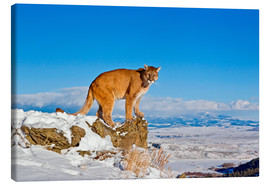 Lienzo  Puma standing on rock in snow, Rocky Mountains - FLPA