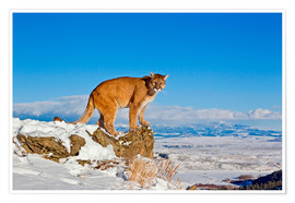 Póster Puma standing on rock in snow, Rocky Mountains