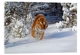 Cuadro de metacrilato  Siberian Tiger walking in snow - FLPA