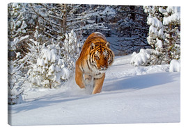 Lienzo  Siberian Tiger walking in snow - FLPA