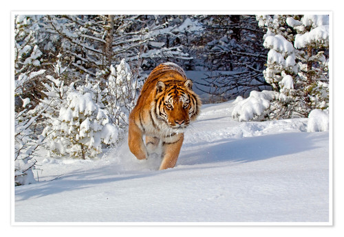 Póster Siberian Tiger walking in snow