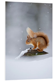 Cuadro de PVC  Eurasian Red Squirrel standing on branch in snow - FLPA