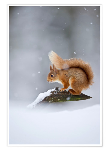 Póster Eurasian Red Squirrel standing on branch in snow