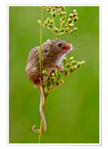 Póster Harvest Mouse climbing Meadowsweet