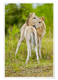 Póster  Konik, wild horse, two foals playing